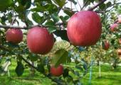 リンゴ.jpg